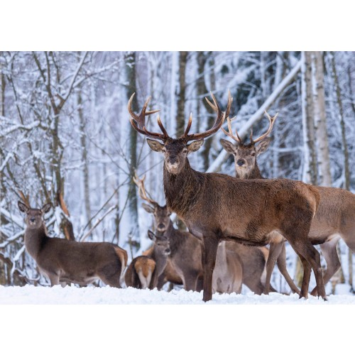 Wildlife Christmas Cards.Wandering Deer Christmas Card Pack