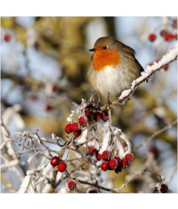 Robin and Red Berries - Small Christmas Card Pack
