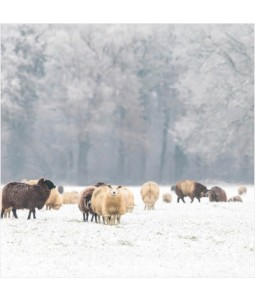 Flock of Sheep - Large Christmas Card Pack