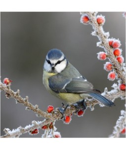 Winter Blue Tit - Small Christmas Card Pack