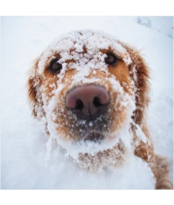 Golden Retriever in Snow - Small Christmas Card Pack