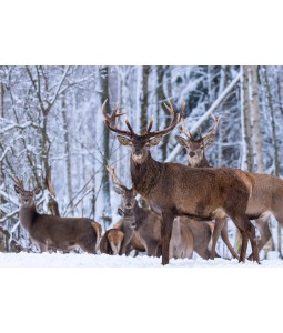 A Christmas card pack with a group of Deer wandering in the snow.