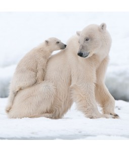 A Christmas card pack with two Polar bears playing in the Snow.