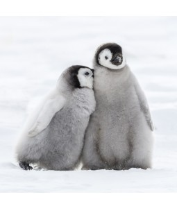 A Christmas card pack with two Penguins cuddling in the snow.
