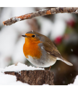 Wintertime Robin - Small Christmas Card Pack