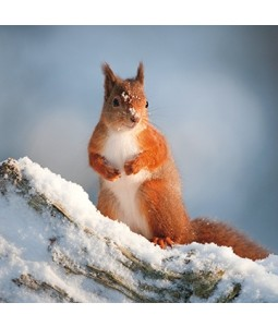 Snowy Squirrel - Small Christmas Card Pack