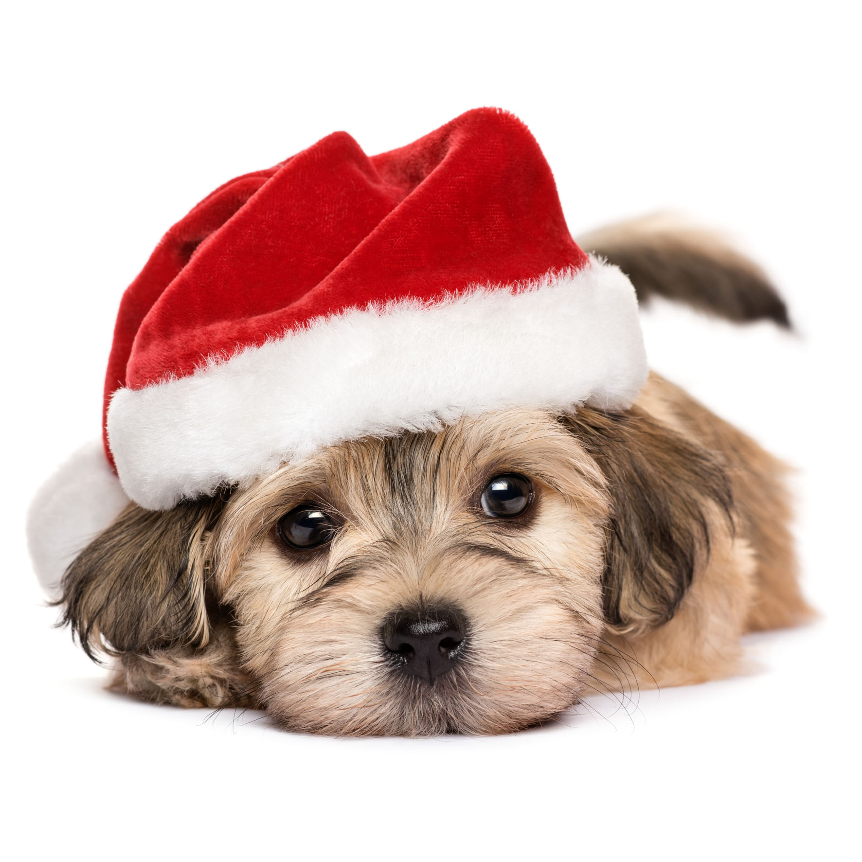 Cute Pup - Animal Christmas Cards Packs